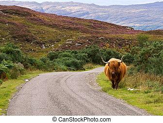 highlander on the loose - scottish highlander walking free...