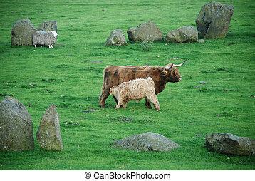 highlander scottish cow - and nursing calf and sheep at...