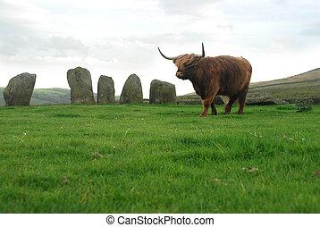 highlander scottish cow - and sacred stone circle, Swinside,...