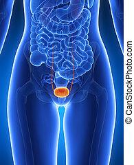 Highlighted bladder - 3d rendered illustration - bladder