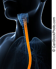 Highlighted esophagus - 3d rendered illustration of the ...
