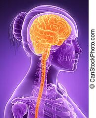Highlighted - female brain