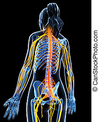 Highlighted female nervous system - 3d rendered illustration...