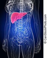 highlighted liver - 3d rendered illustration of a female...