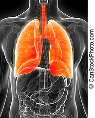 Highlighted male lung - 3d rendered illustration of the male...