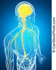Highlighted male nerve system - 3d rendered illustration of...