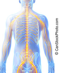 Highlighted nerve system - 3d rendered illustration - male...