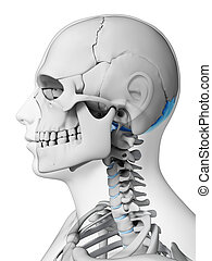 Highlighted - occipital bone