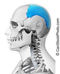 Highlighted - parietal bone