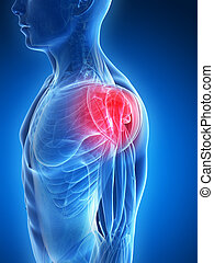 Highlighted shoulder muscles - 3d rendered illustration - ...