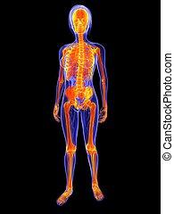 highlighted skeleton