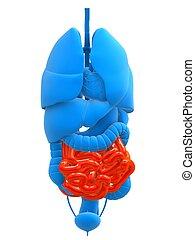 highlighted small intestines