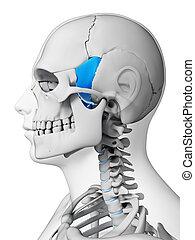 Highlighted - sphenoid bone