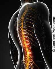 Highlighted spinal chord - 3d rendered illustration of the...