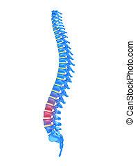 highlighted spine
