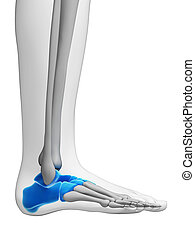 Highlighted - tarsal bones