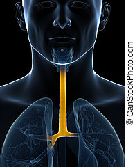 Highlighted trachea - 3d rendered illustration of the ...