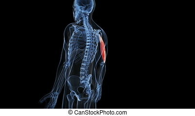 Highlighted triceps - Medical animation - highlighted muscle...