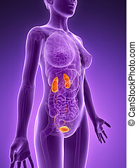 Highlighted urinary system - 3d rendered illustration - ...