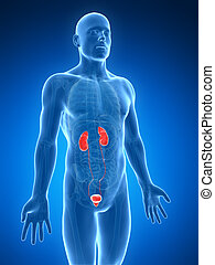 Highlighted urinary system - 3d rendered illustration of the...