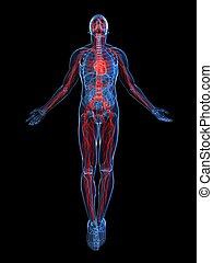 3d rendered illustration of a transparent male body with vascular system