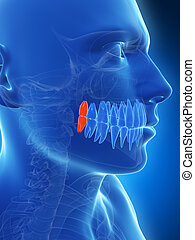 Highlighted wisdom teeth - 3d rendered illustration of the ...