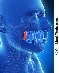 Highlighted wisdom teeth