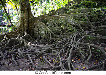 Highly developed roots of a tree