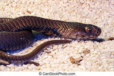 Black Mamba - Highly poisonous South African Black Mamba ...
