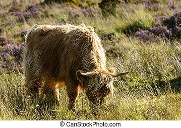higland cattle grazing in the moor, Dartmoor