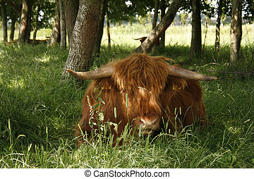 higland, kuh, schottische