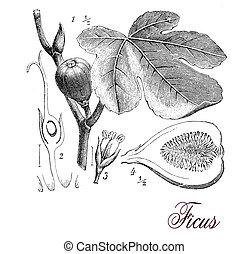 higo, grabado, botánico, árbol, vendimia