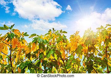 higuera, con, amarillo y verde, hojas