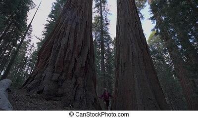 Hiker, admiring Giant Sequoia trees slow motion - Sequoia...