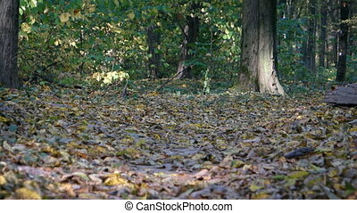 Hiker Jogs along Nature Trail through Autumn Forest