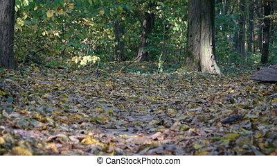 Hiker Jogs along Nature Trail through Autumn Forest - Hiker...