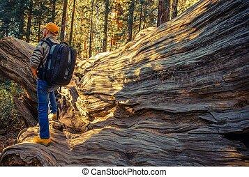 hiker, parque nacional, sequoias
