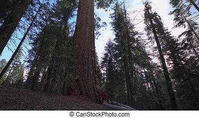 Hiker walking around Giant Sequoia tree - Sequoia National...