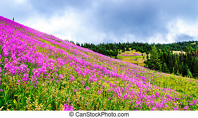 Hiking among the alpine meadows covered in pink fireweed flowers