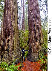 Hiking Girl standing between two giant Redwood trees