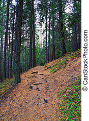 Hiking path in coniferous forest