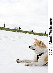 hiking, pessoas, neve, cão, olhar, akita