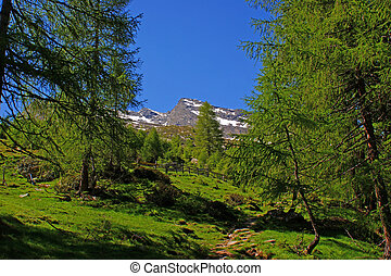 A narrow mountain path through the green mountain forest and in the background the snow-capped peaks of the Oetztal Alps in South Tyrol, Italy, deep blue cloudless sky