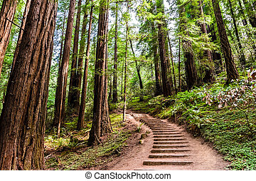 Hiking trail going through redwood forest of Muir Woods National Monument, north San Francisco bay area, California