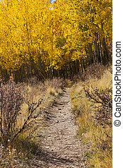 Hiking Trail Through Golden Aspen Forest In Fall