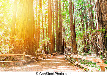 Hiking trails through giant redwoods in Muir forest near San Francisco - California, USA
