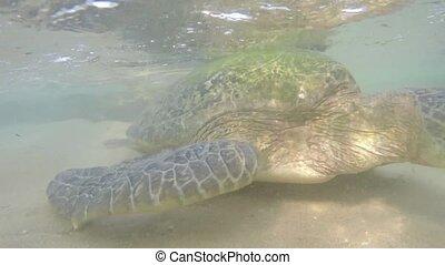 hikkaduwa, macro, grand, plage tortue, indien, vue, sri, océan, côte, olive, lanka, eau