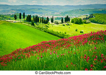 Hill covered by red flowers overlooking a road lined by cypresses on a sunny day near Certaldo, Tuscany, Italy