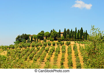 Hill of Tuscany with Vineyard and Olive Plantation in the Chianti Region