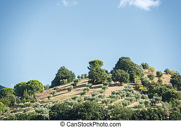 Hill with olive trees